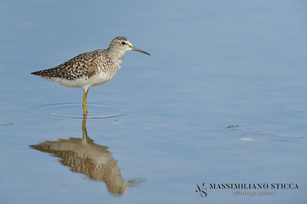 The Wood Sandpiper, Tringa glareola, is a small wader. This Eurasian species is the smallest of the shanks, which are mid-sized long-legged waders of the family Scolopacidae.