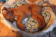 10.5 uke. Sovende hund. Irsksetter valp.
