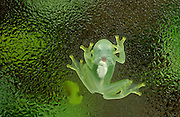 Glass frog (Hyalinobatrachium sp.) seen from below<br /> SE ECUADOR <br /> South America