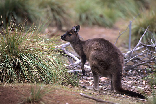 Western Gray Kangaroo, (Macropus fuliginosus)Kangaroo Island. Australia.