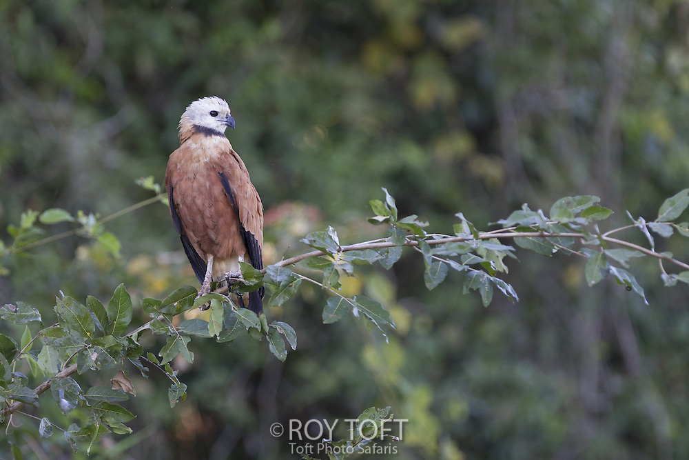 Black-collared Hawk (Busarellus nigricollis), Pantanal, Brazil