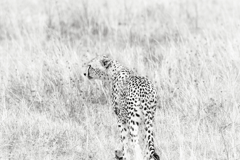 "The cheetah (from Hindi, meaning ""spotted one"") is a vulnerable species. Out of all the big cats, it is the least able to adapt to new environments, while also regarded as the most ""primitive,"" having evolved the earliest. This is one of four or five cheetahs in Ngorongoro Conservation Area Caldera (or volcanic crater), hoping to scare a bird or scrub hare out of the bush."