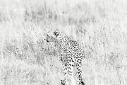 """The cheetah (from Hindi, meaning """"spotted one"""") is a vulnerable species. Out of all the big cats, it is the least able to adapt to new environments, while also regarded as the most """"primitive,"""" having evolved the earliest. This is one of four or five cheetahs in Ngorongoro Conservation Area Caldera (or volcanic crater), hoping to scare a bird or scrub hare out of the bush."""