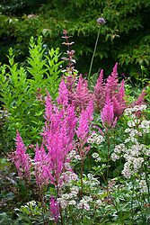 Astilbe 'Fanal' and Astrantia major at Glebe Cottage