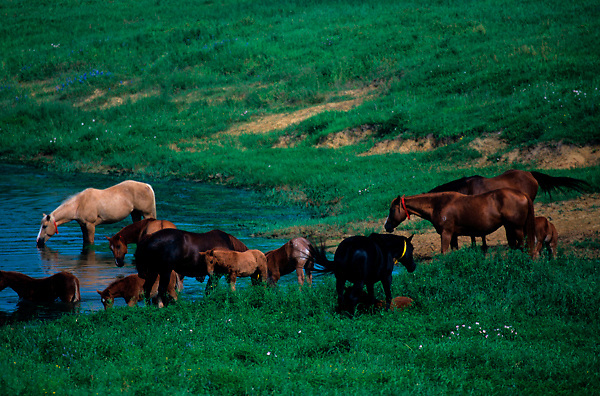 Group of horses in a field drinking at a pond