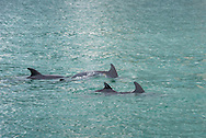 Dolphins swimming in Biscayne Bay, Miami.