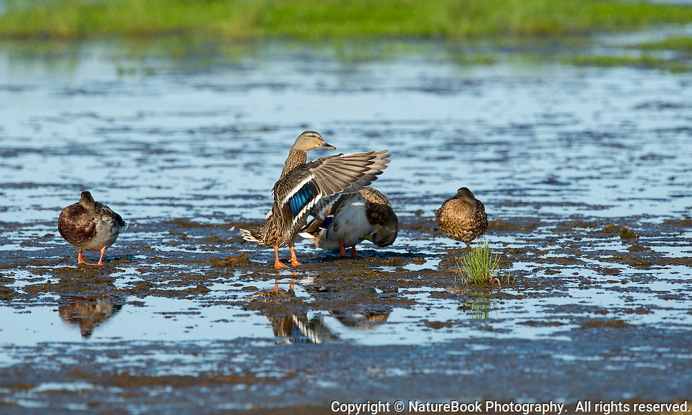 A female mallard duck flaps her wings to dry and straighten feathers in the wetlands of Chesapeake Bay.
