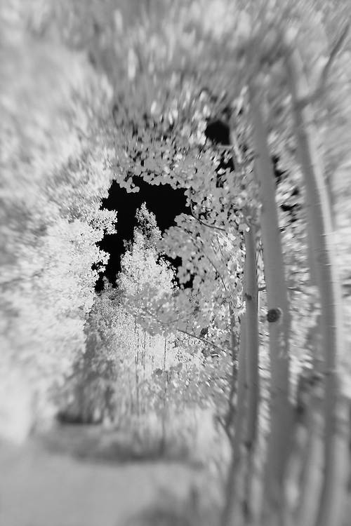 North Lake Road Aspens Vertical - Lensbaby - Infrared Black & White