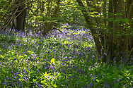 Bluebells - Hyacinthoides non-scripta, Stoke Woods, Bicester, Oxfordshire owned by the Woodland Trust