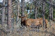 Large Bull Elk in TImber