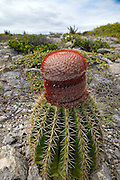 Squat melon cactus showing a fleshy globose stem and spiny longitudinal ridges and bearing a prickly and woolly crown with small pink flowers  growing along the arid coast of the Bosque Estatal de Guanica forest reserve in Puerto Rico considered the best example of dry forest in the Caribbean.