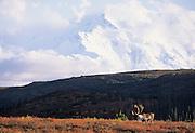 Mt. McKinley, Mount McKinley, Bull Caribou, Caribou, Denali, Denali National Park, Alaska