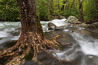 Heavy flows from recent flooding rains wrap around the root system of a large tree along the Thunderhead Prong of the Little River in the Tremont area of Great Smoky Mountains National Park.