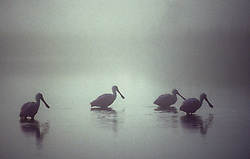 Roseate Spoonbills (Platalea ajaja) foraging in water for food in fog.