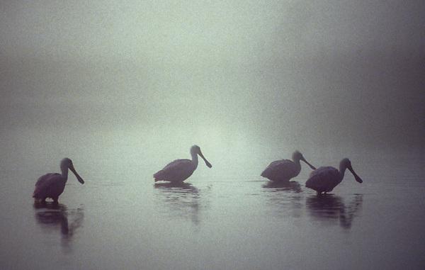 Roseate Spoonbills (Platalea ajaja) foraging in water for food in fog.