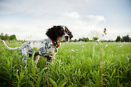 A Llewellin setter puppy shows her pointing instinct early.