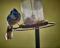 Blue Jay at the Bird Feeder. Image taken with a Nikon D5 camera and 600 mm f/4 VR telephoto lens (ISO 200, 600 mm, f/4, 1/640 sec)