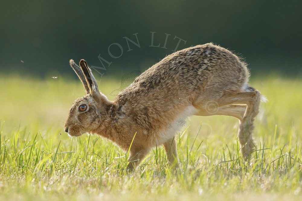 European Hare (Lepus europaeus) adult running across grass meadow, South Norfolk, UK. May.