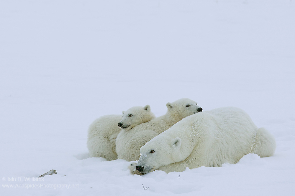A mother polar bear and two cubs rests in the snow.  Looking after two cubs at the same time is particularly stressful on the mother bear