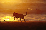 A dog chases a ball in front of the waves at Ocean Beach, San Francisco, at sunset.