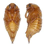 Beetle pupa