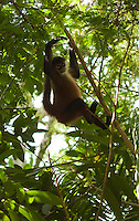 Spider monkey at Lapa Rios Ecolodge, Osa Peninsula, Costa Rica