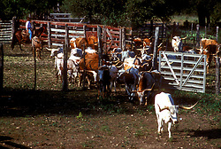rancher herding cattle into a gated area