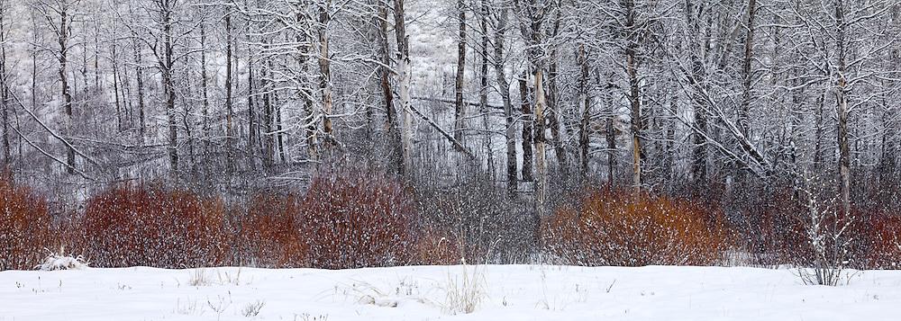 Winter Trees<br /> Adams Gulch, near Sun Valley, Idaho