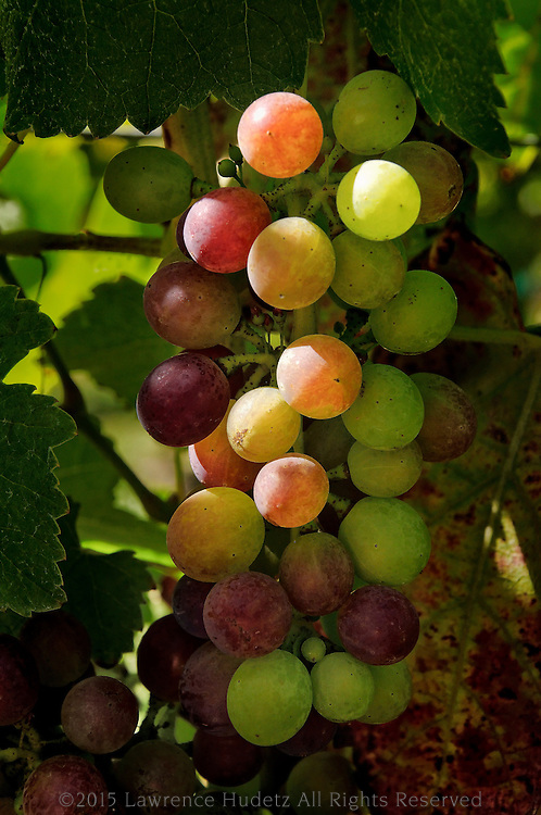 Unusual wine grape colors just before harvest.