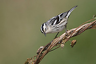 Adult female breeding <br /> Galveston Co., TX <br /> May 2005