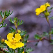 Colorado wildflower