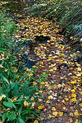 Autumn leaves in Watermill, river Vinalopo, Banyeres de Mariola, Ruta de los Molinos, Alicante province, Comunidad Valenciana, Spain