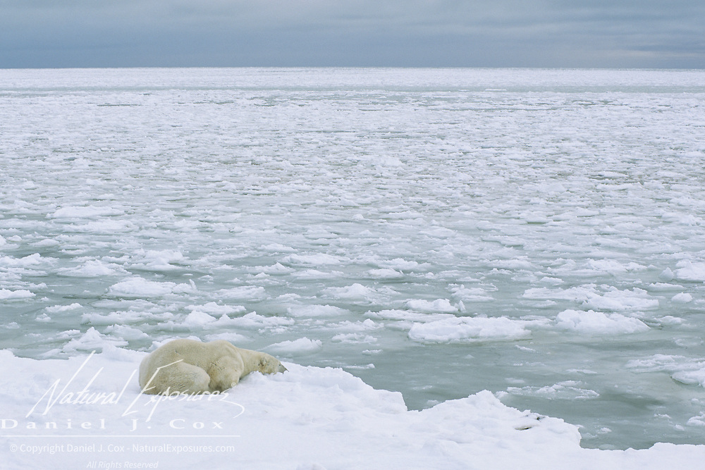 A large male polar bear waiting for Hudson Bay to freeze. Cape Churchill, Canada
