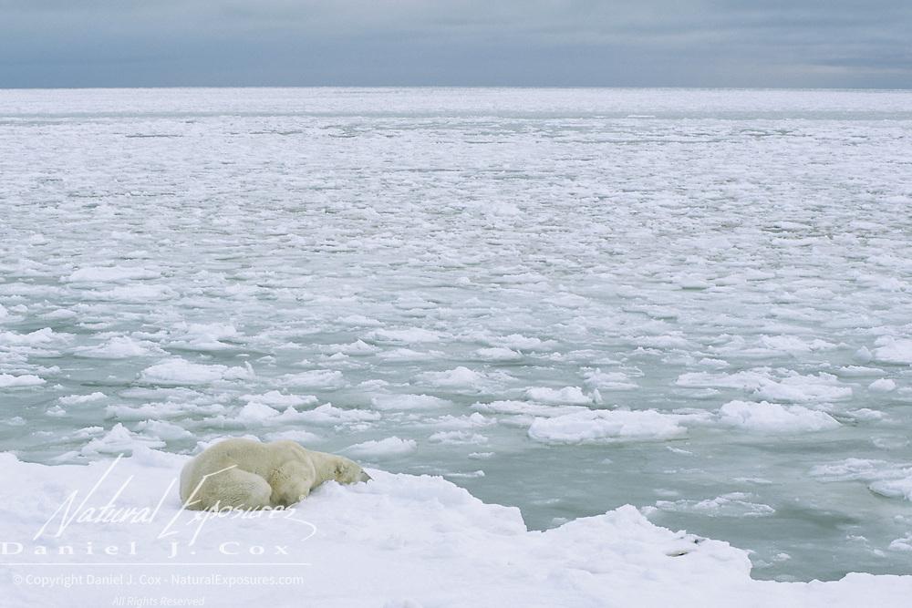 A large male polar bear waiting for Hudson Bay to freeze. Cape Churchill, Canada