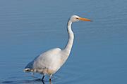 Eastern Great Egret, (kotuku), Invercargill Estuary, New Zealand