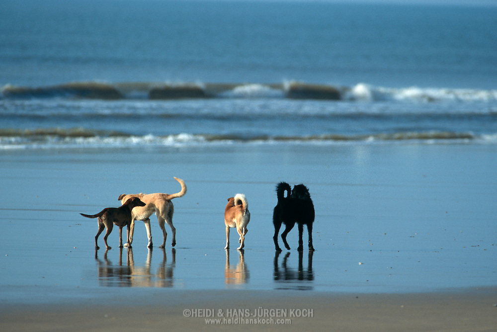 PRT, Portugal: Streunender Hund, Haushund (Canis lupus familiaris), eine Gruppe von Hunden trifft sich am Meeresufer, Armacao de Pera, Algarve | PRT, Portugal: Stray dog, domestic dog (Canis lupus familiaris), meeting of a group of dogs at the shallow shore line of the sea, Armacao de Pera, Algarve |
