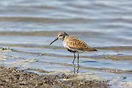 A Dunlin (Calidris alpina) forgages in Mud Bay which is part of Kachemak Bay near the Homer Spit in Southcentral Alaska during its spring migration to the arctic. Afternoon.