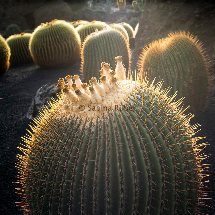 Echinocactus platyacanthus - giant barrel cactus, giant viznaga, biznaga de dulce - Jardin de Cactus, Guatiza, Lanzarote, Canary Islands
