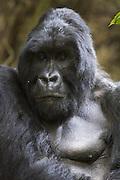Mountain Gorilla<br /> Gorilla gorilla beringei<br /> Large silverback<br /> Parc National des Volcans, Rwanda