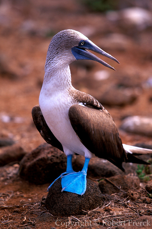 ECUADOR, GALAPAGOS ISLANDS Blue-footed Booby, Sula nebouxii excisa; on North Seymour Island