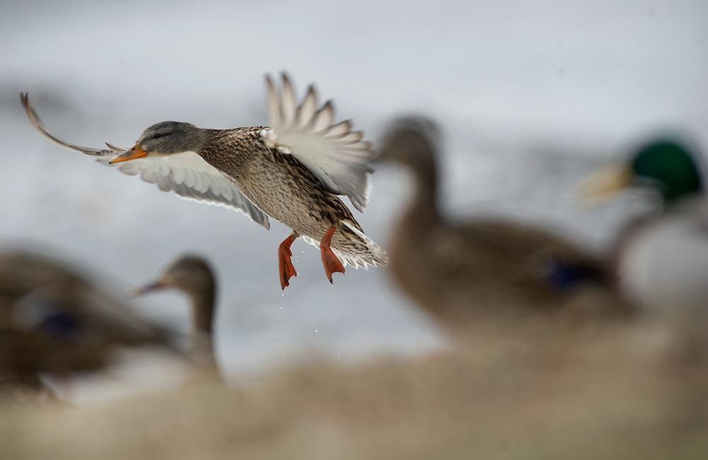 A hen mallard in flight
