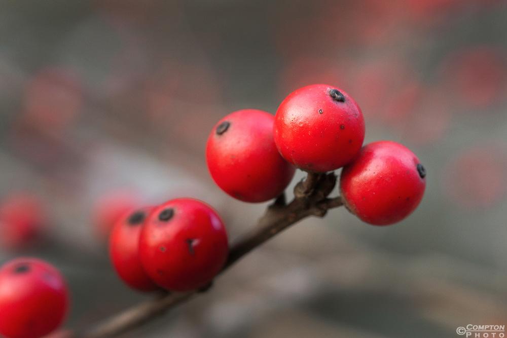 Bitter Cherry Berries.<br /> Prunus emarginata