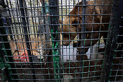 ROMANIA ONESTI 28OCT12 - A Eurasian brown bear is coaxed into a transport cage next to a tranquilised wolf at the Onesti zoo.....The bear was rescued from the decrepit Onesti Zoo where it lived for 8 years in degrading conditions and will be transported to the Zarnesti bear sanctuary.....jre/Photo by Jiri Rezac / WSPA......© Jiri Rezac 2012