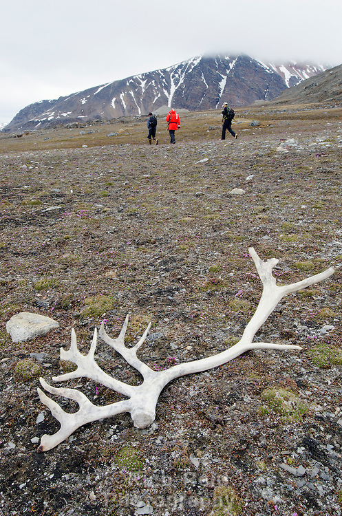 Shed Svalbard reindeer antler with hikers in the background in Krossfjorden on Spitsbergen in the Svalbard Archipelago, Norway.