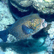 Yellow Boxfish inhabit reefs. Pictue taken Red Sea.