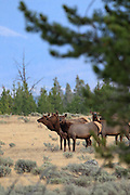 Rocky Mountain Elk in Habitat