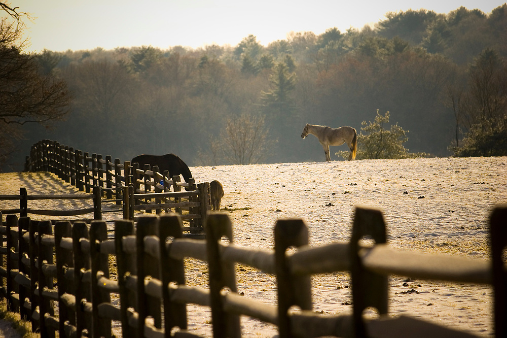 Horses eating breakfast in their paddock while an aged mare looks on.