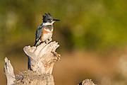 Ankeny National Wildlife Refuge, Oregon, Belted Kingfisher (Ceryle alcyon)