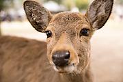 Sika deer in Nara Park.