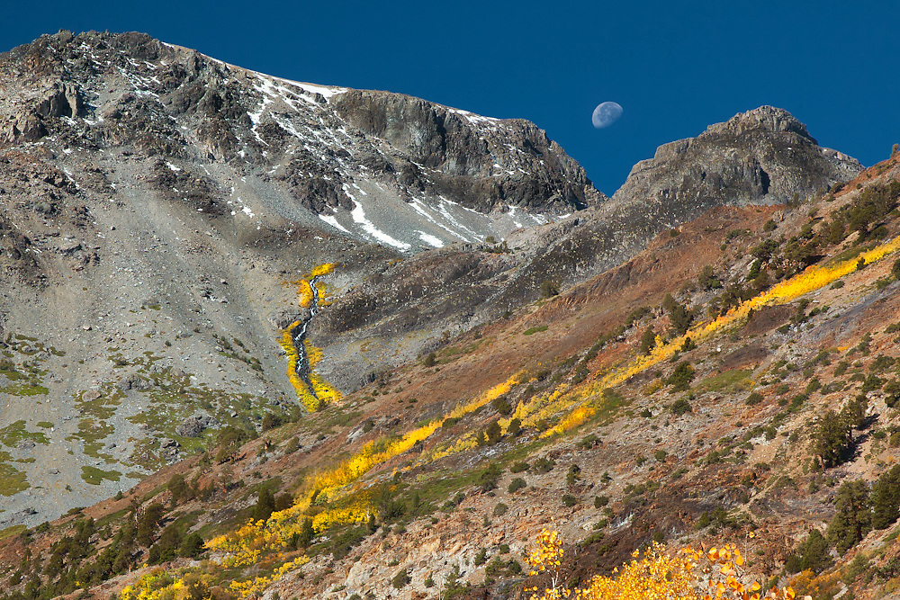 bright yellow aspen trees climbing a mountain in the Eastern Sierra of california mean Mammoth as the moon sets behind the mountain